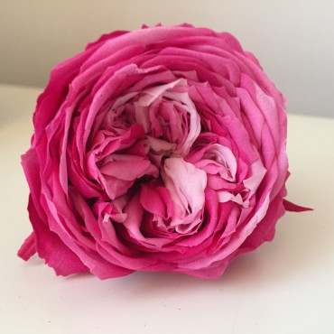 40 boccioli di Rosa stabilizzata da giardino
