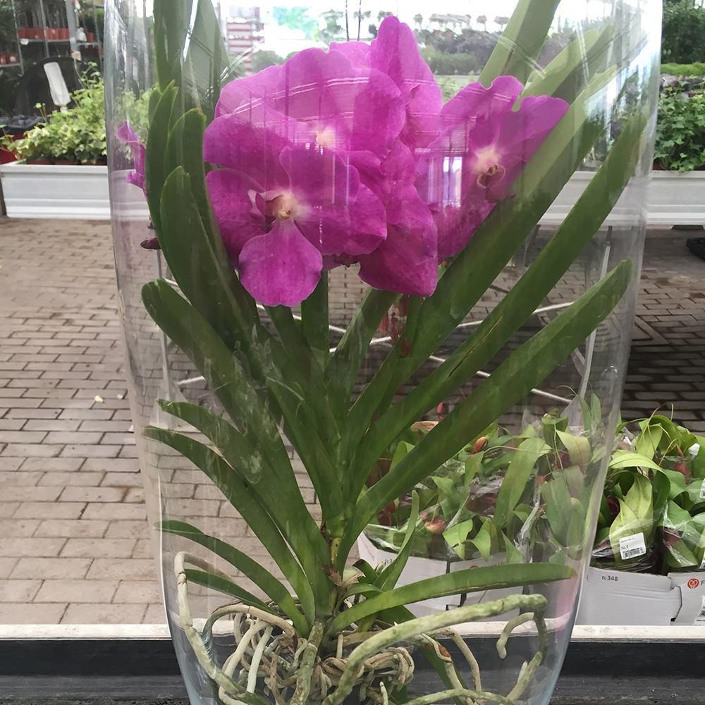 Orchidea phalaenopsis vendita online flority fair for Radici orchidea