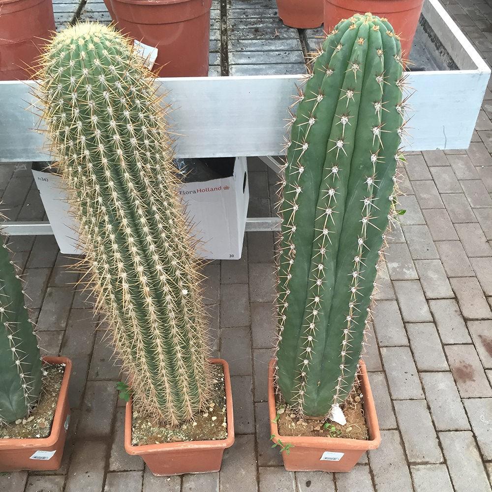 Cactus vendita online flority fair for Piante colonnari