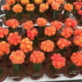 Piante grasse vendita online flority fair for Vendita piante grasse on line