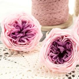 Rose inglesi stabilizzate XL