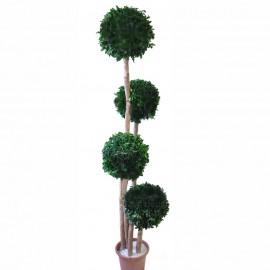 Tenuifolium stabilizzato a 4 cespugli tondi