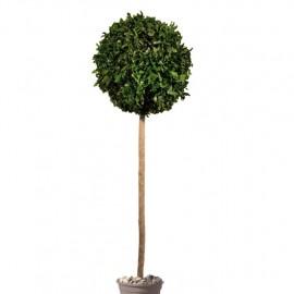 Tenuifolium stabilizzato a cespuglio tondo