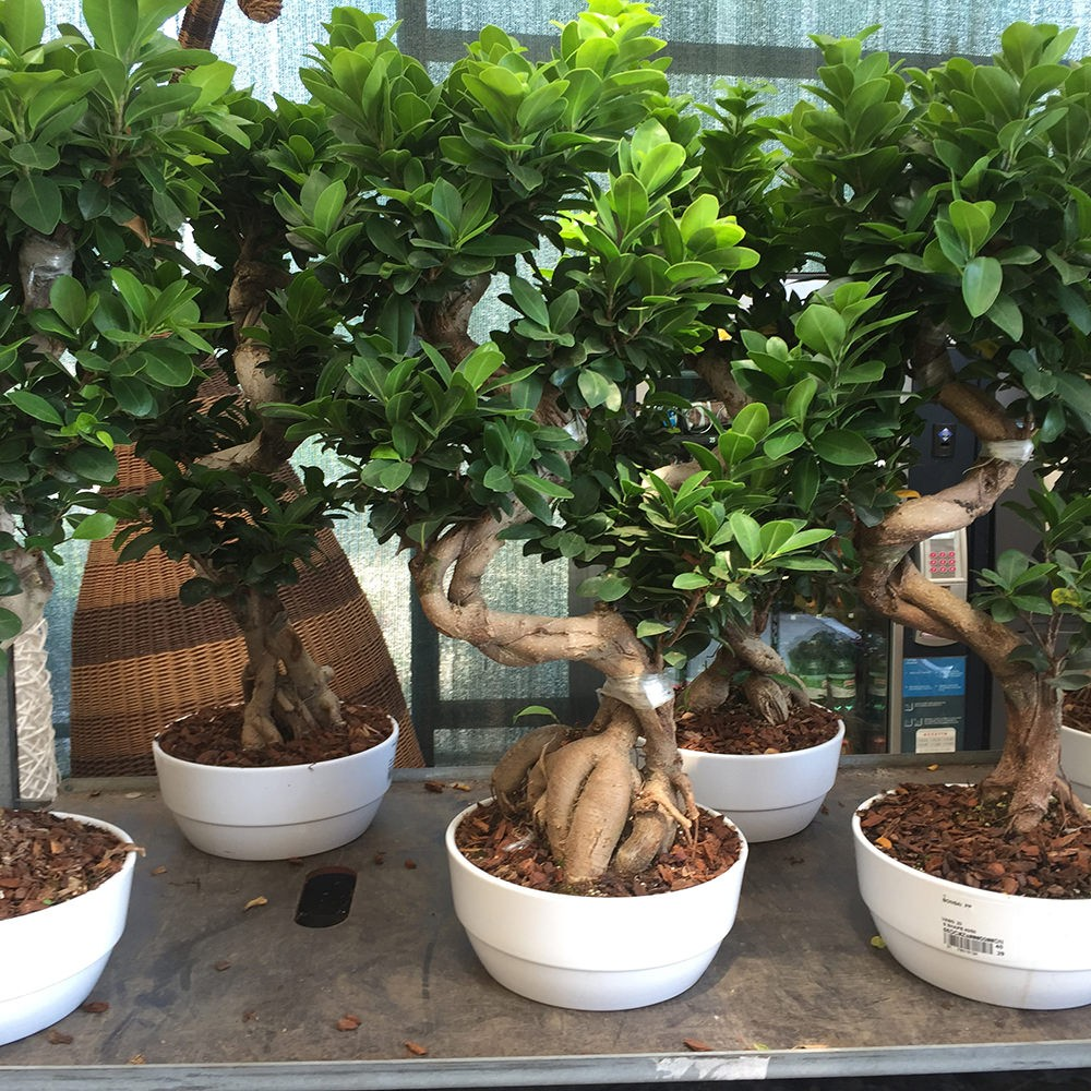 Ficus bonsai vendita online flority fair for Vendita on line bonsai